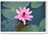 Flowers. A pink lotus