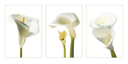 Photography Collection. Calla Lilies [06089]