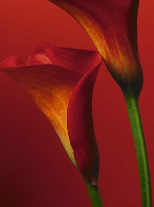 Photography Collection. Red Calla Lilies [08274]